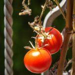 I pomodori ancora sulla pianta sul davanzale